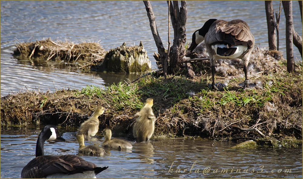 wetland, sanctuary, Heron-Haven, goose