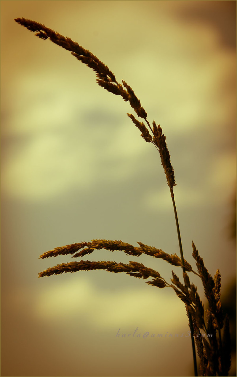 Plant, tallgrass, wetlands