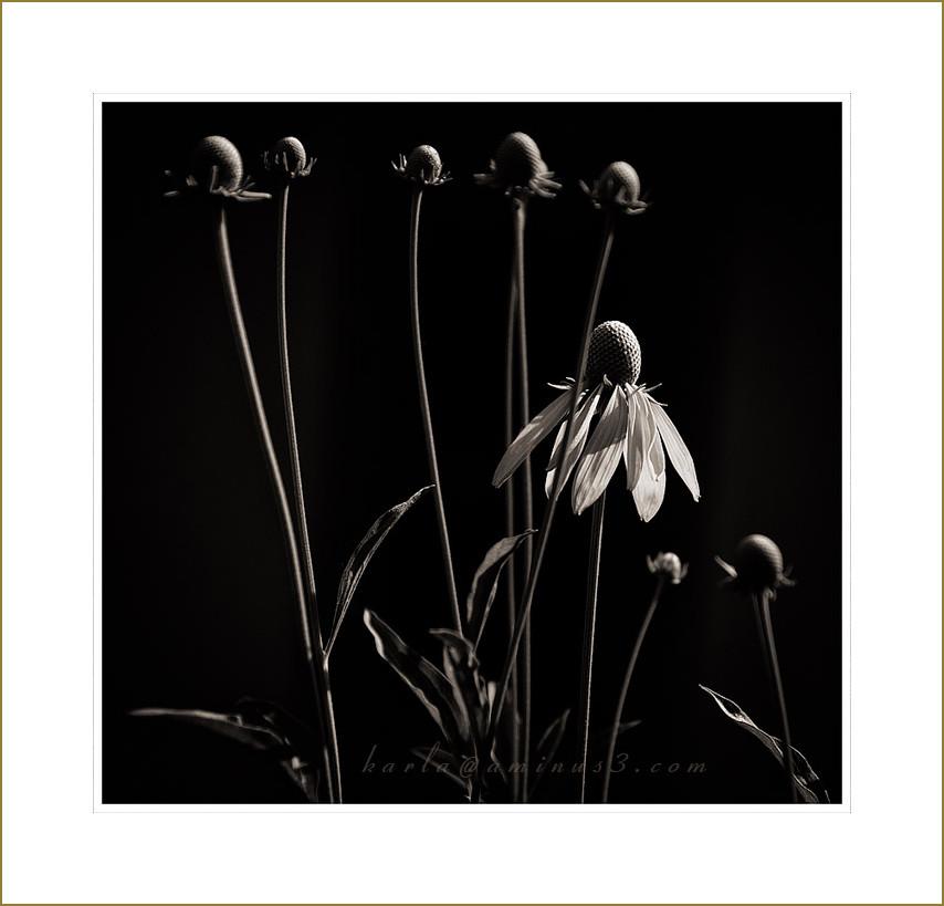 Ratibida-pinnata, prairie-coneflower