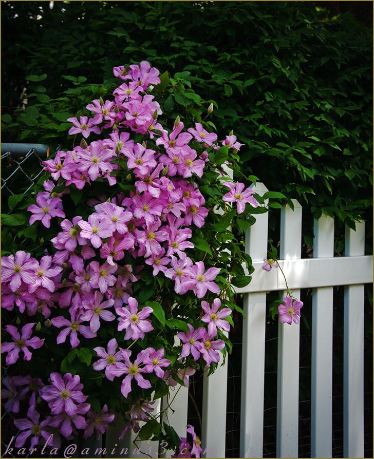 flower, clematis, vine, fence