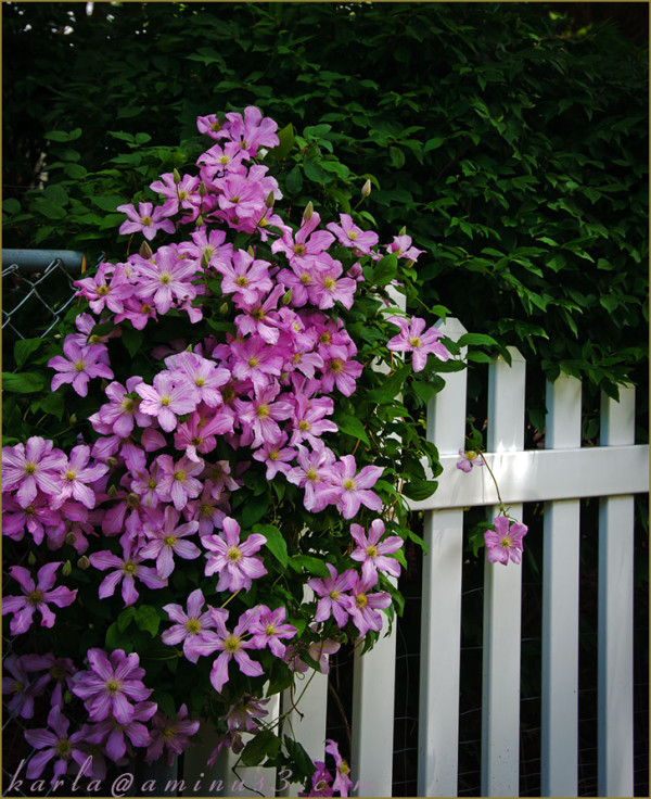 Clematis vine...where fences meet