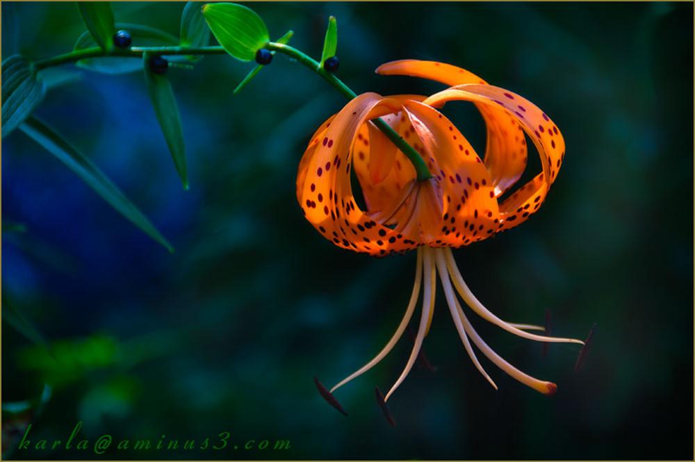 tiger-lily, orange, Lily-lancifolium