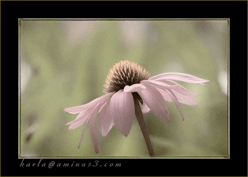 Echinacea, purple-cone-flower, toned