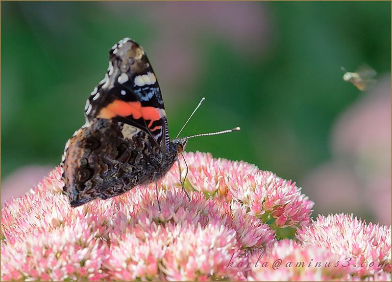 butterfly, admiral, sedum