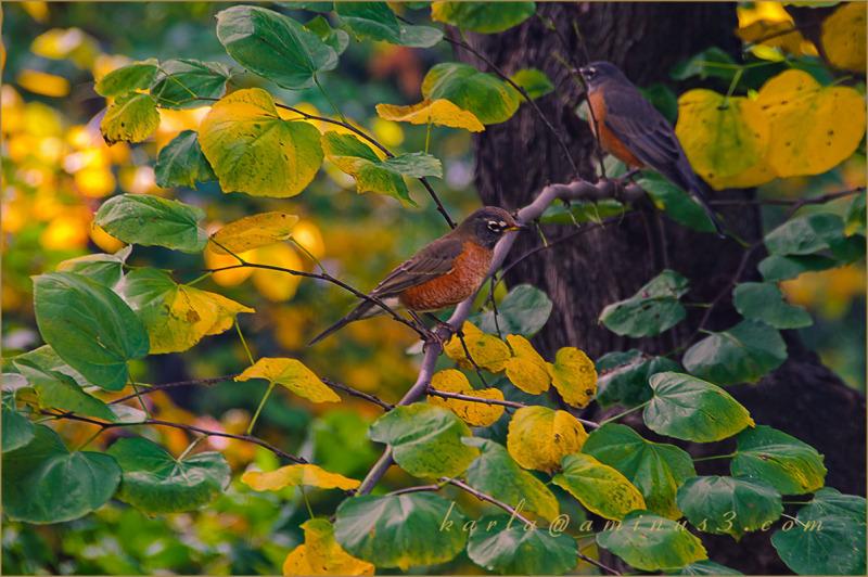 bird, robin, Fall, redbud, Cercis-canadensis