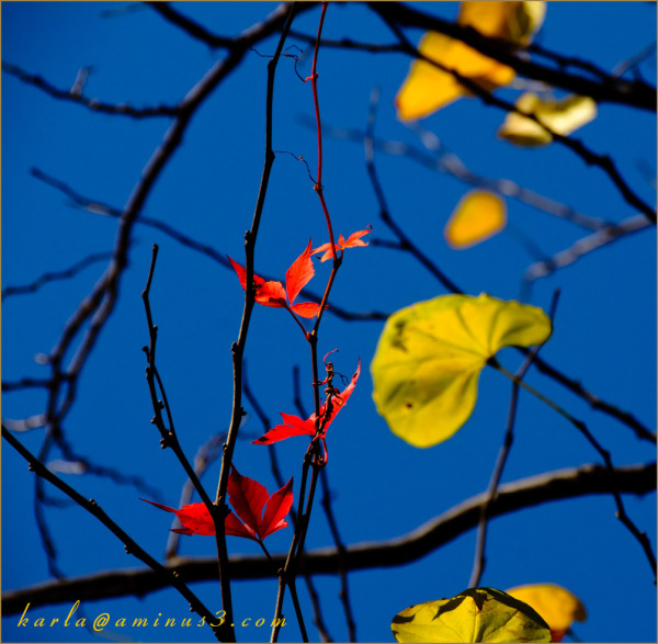 leaves of Virginia creeper and redbud in Fall