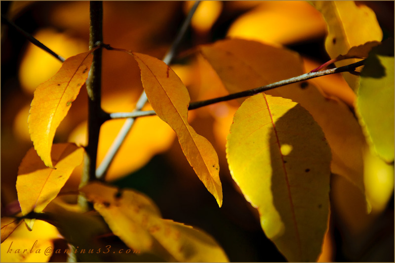yellow leaves on a branch in Fall