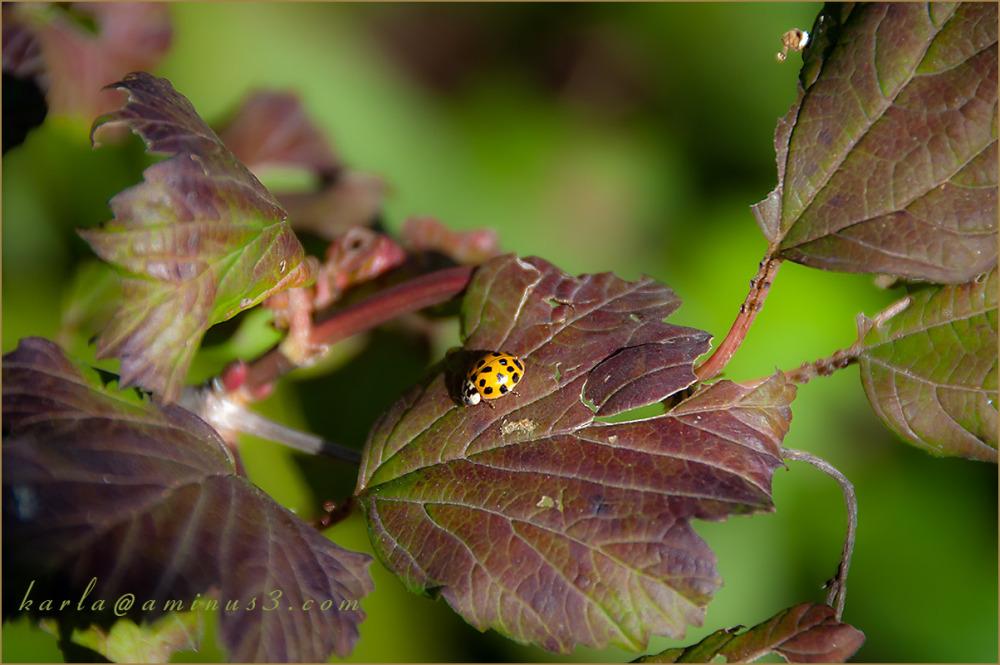 Lady beetle on viburnam leaf in Fall