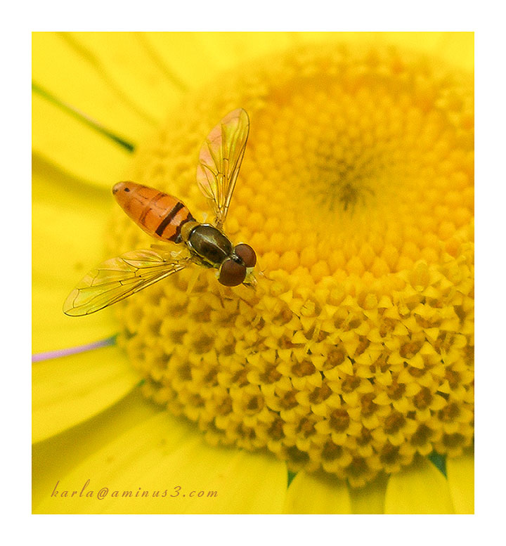Hover Fly, Toxomerus marginatus