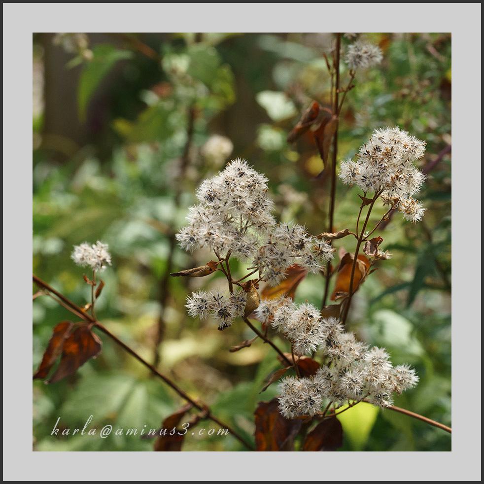 Autumn, white snakeroot, Ageratina-altissima
