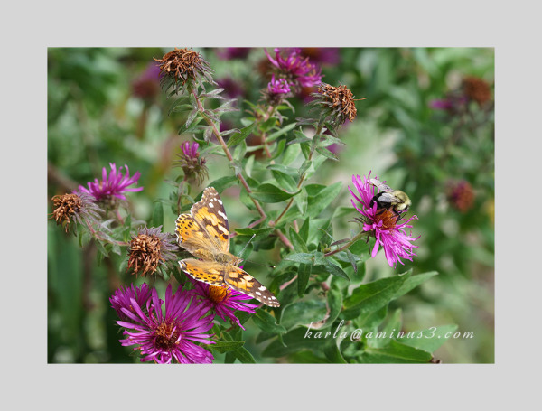 Painted Lady Butterfly on New England Asters