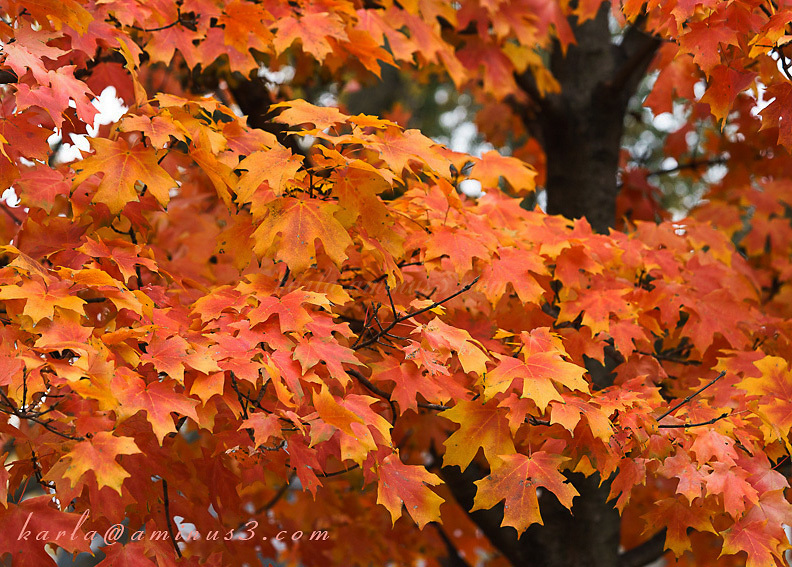 Maple tree in color