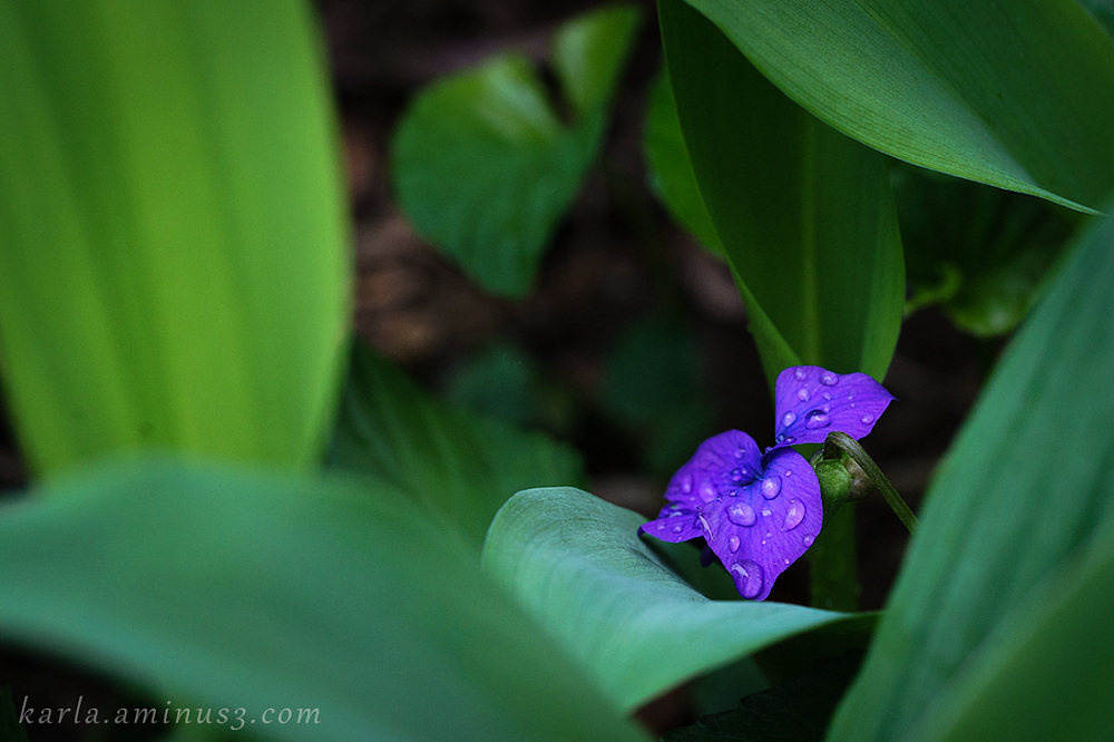Viola odorata, rain drops on blossom
