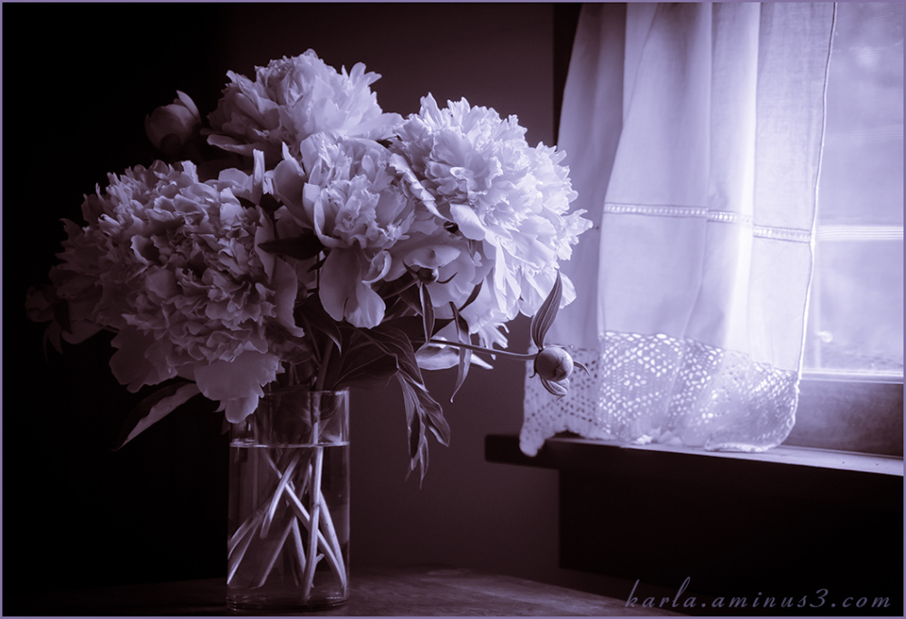 Peonies in window lighting