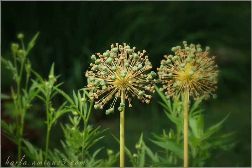 Allium -- after the flowering