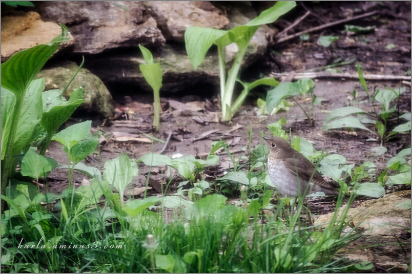 House wren - can you see it?