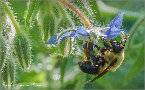 Bumble bee nectaring on borage