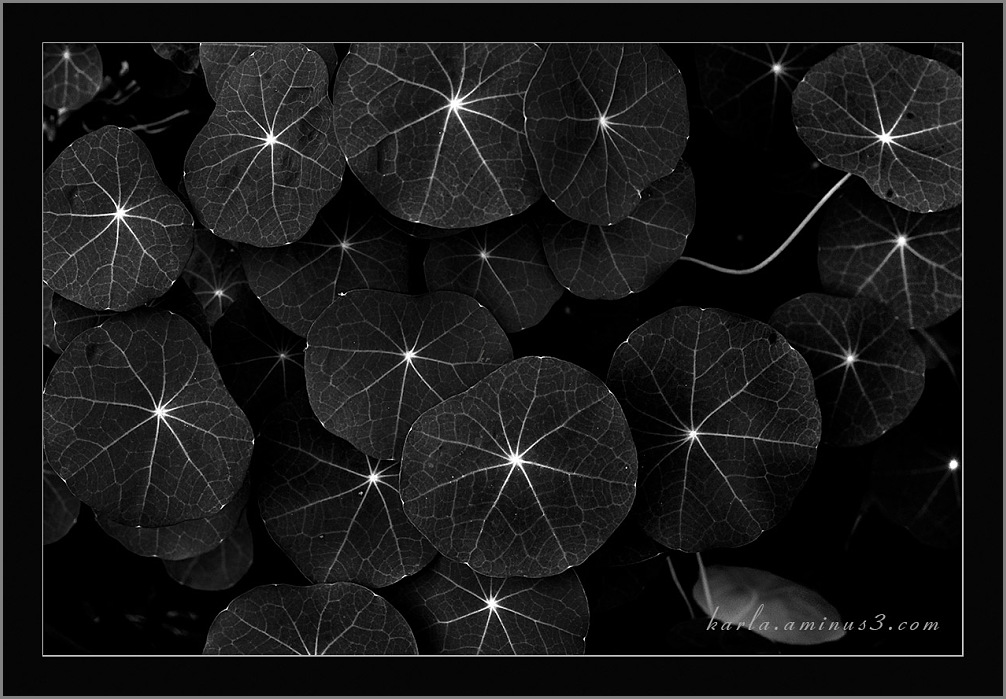 capturing naturtium leaves mimics a starry sky.