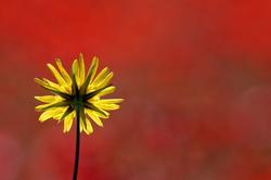 En jaune et contre rouges