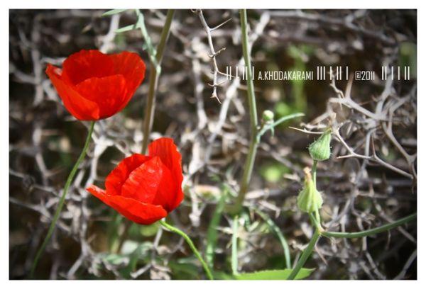 poppy, love, bushehr, iran, red