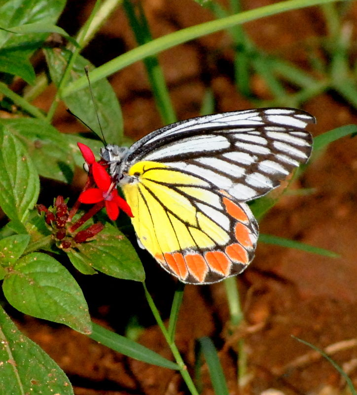 Colourful Andhra Butterfly