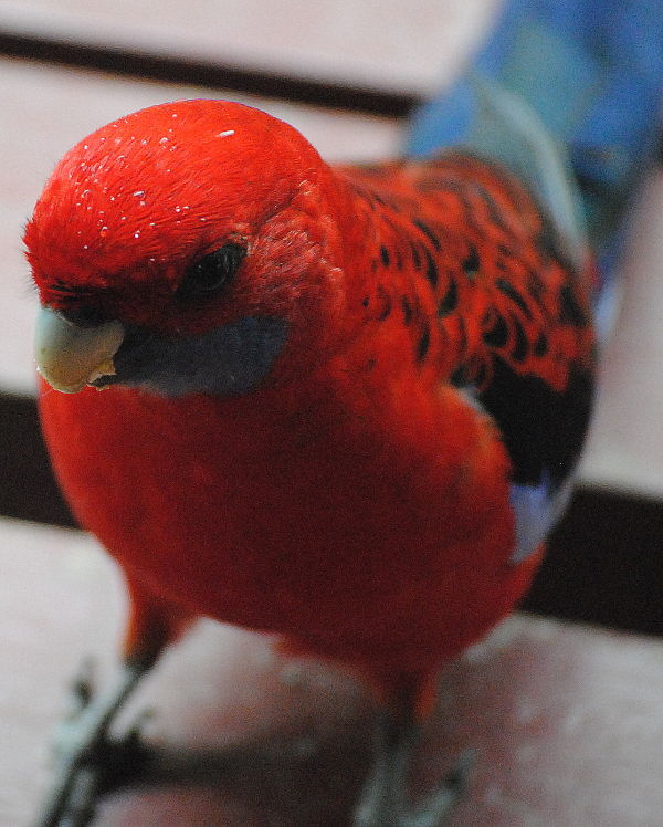 A Crimson Rosella Parakeet!