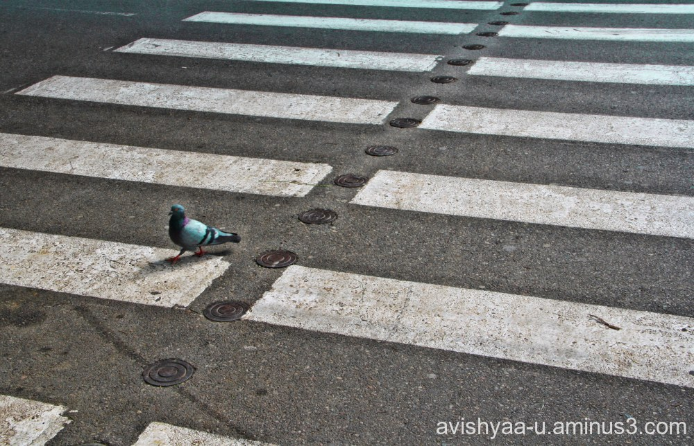 Pigeon crossing?