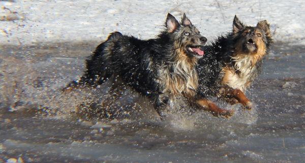 Australian Shepherds at Play