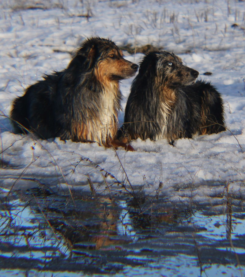 Moxie and Razzle reflection in the snow