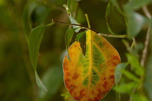A Hanging Leaf