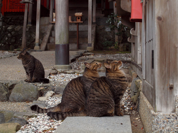 kyoto japan arashiyama cats