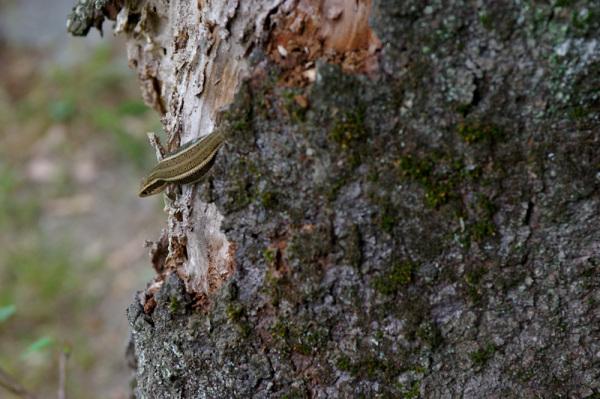 Lizard On The Trunk