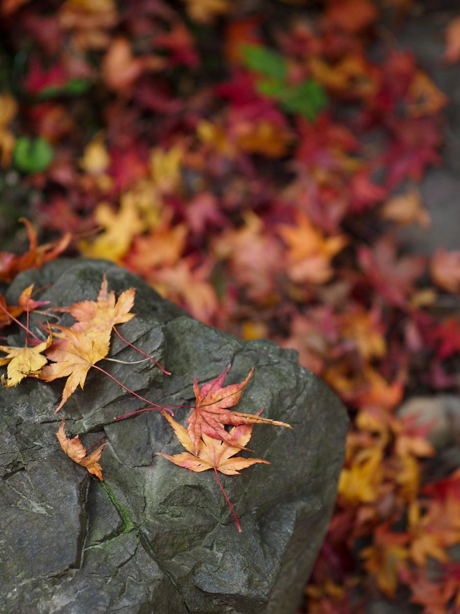 Fallen Leaves of Maple Tree