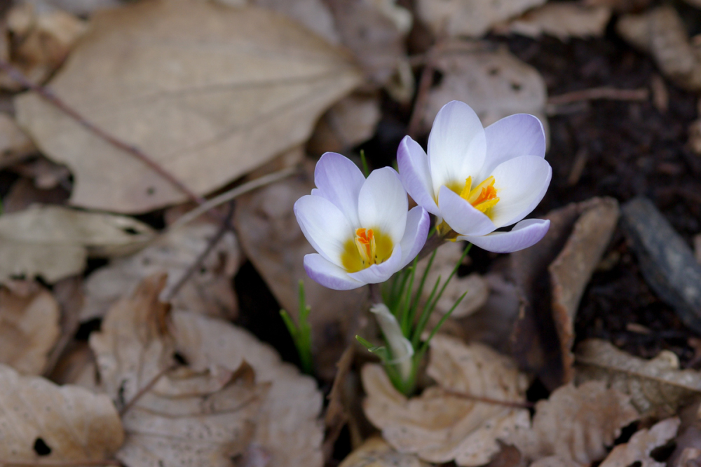 Crocus, White &  Purple
