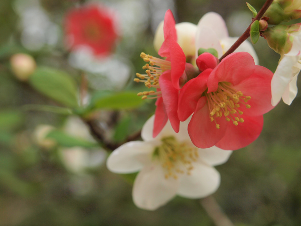 Flowering Quince, One of Spring Flowers
