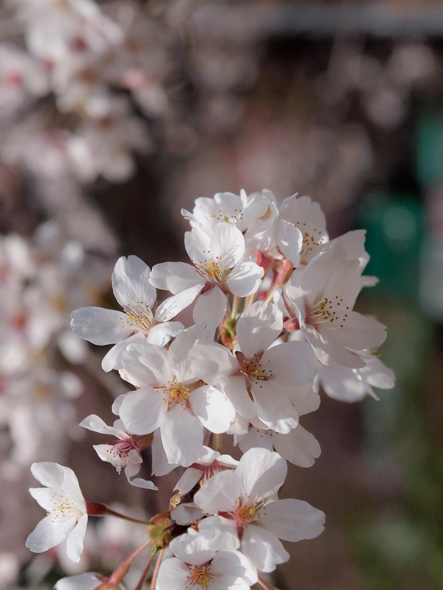 Cherry Blossom - 2 -
