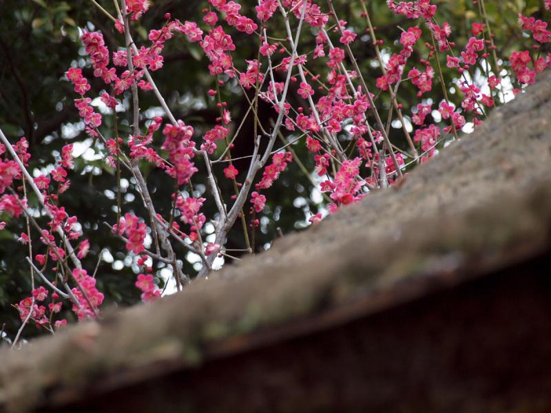 kyoto japan flower pink