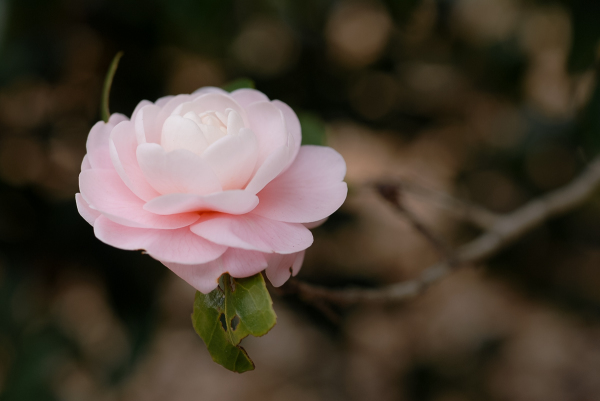 A Pink Camellia