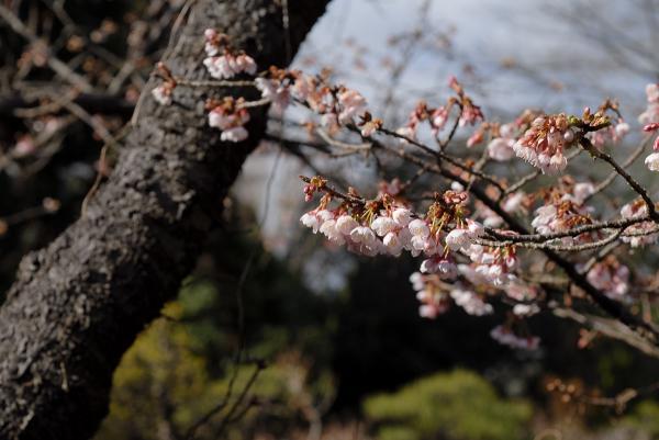 Winter Cherry Blossom