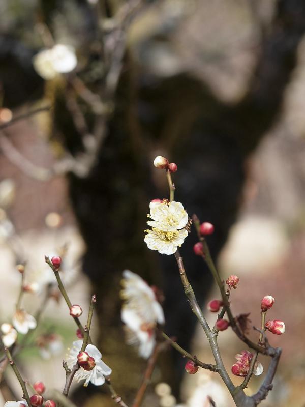 Japanese Apricot - 2 -
