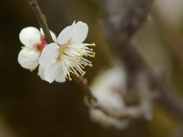 Japanese Apricot - 4 -