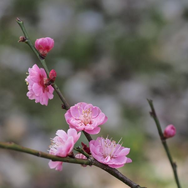 Japanese Apricot - 6 -