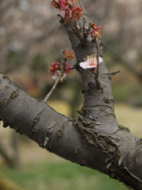 Japanese Apricot - 7 -
