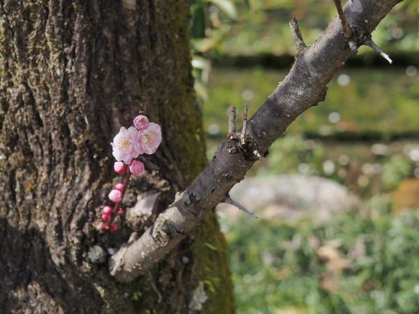 Japanese Apricot - 8 -