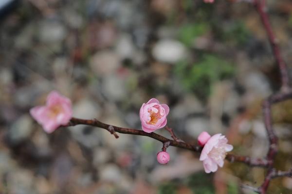 Japanese Apricot - 9 -