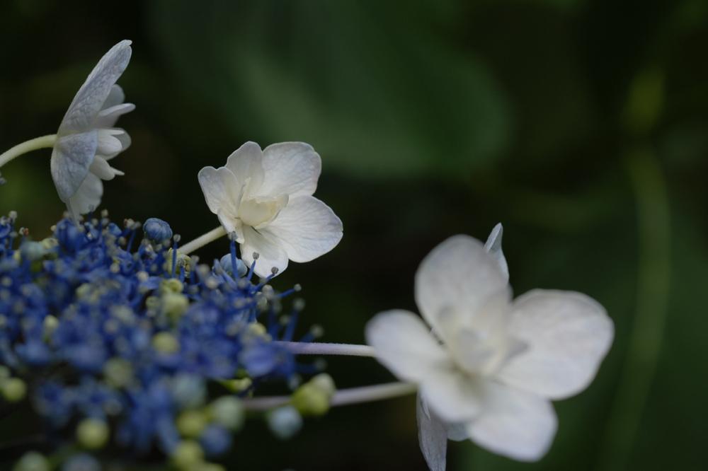Hydrangea - 12 -