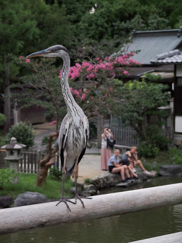 Heron on a Rail