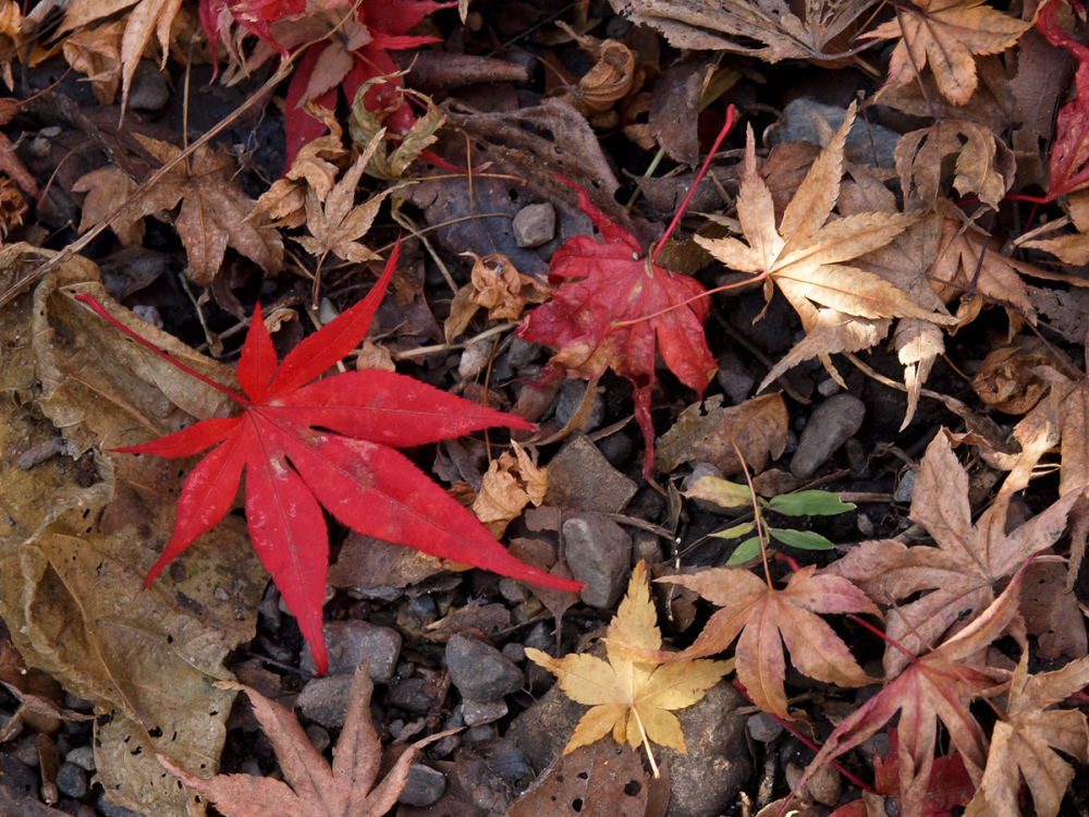 Colored Leaves  - 9 -