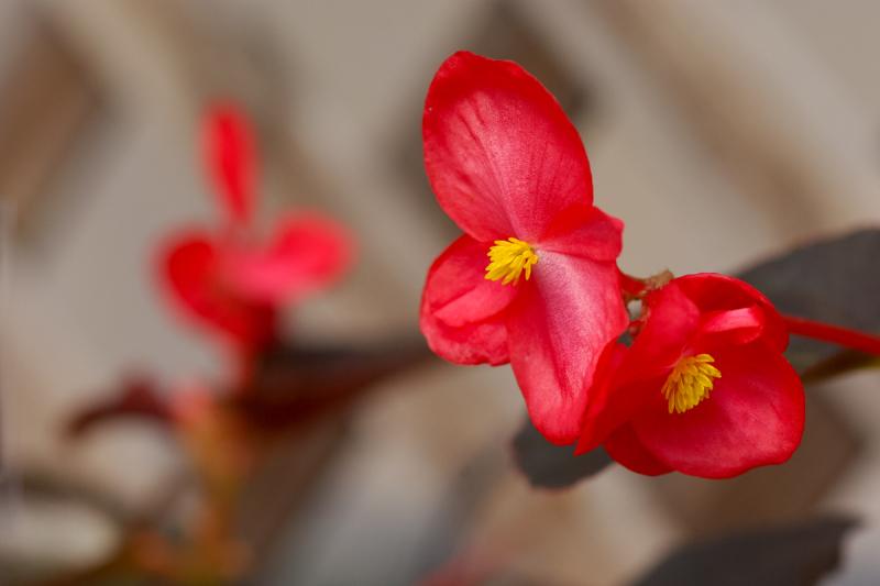 Red Pegonia