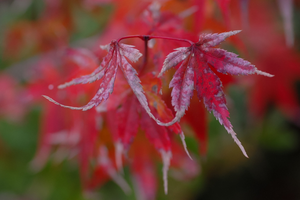 Colored Leaves  - 15 -